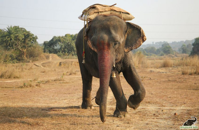 Emma the elephant rescued by Wildlife SOS